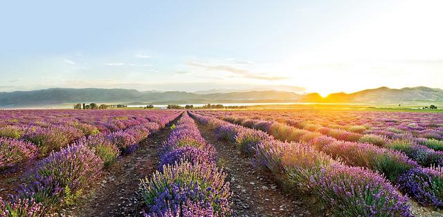 YL Lavender Flickr